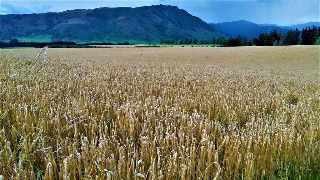 A paddock of ripe barley, mountains in the background.