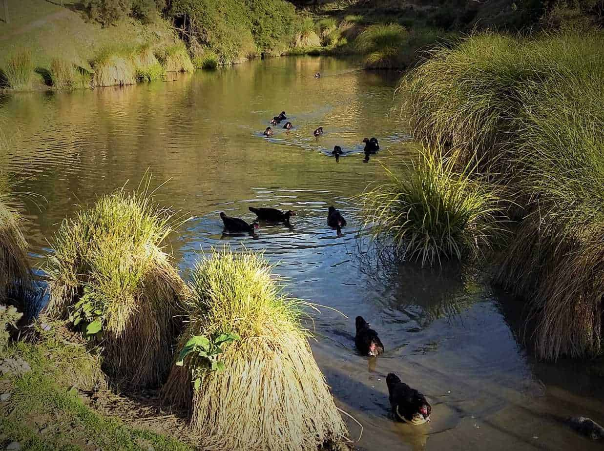 Muscovy Ducks swimming on a farm duck pond.