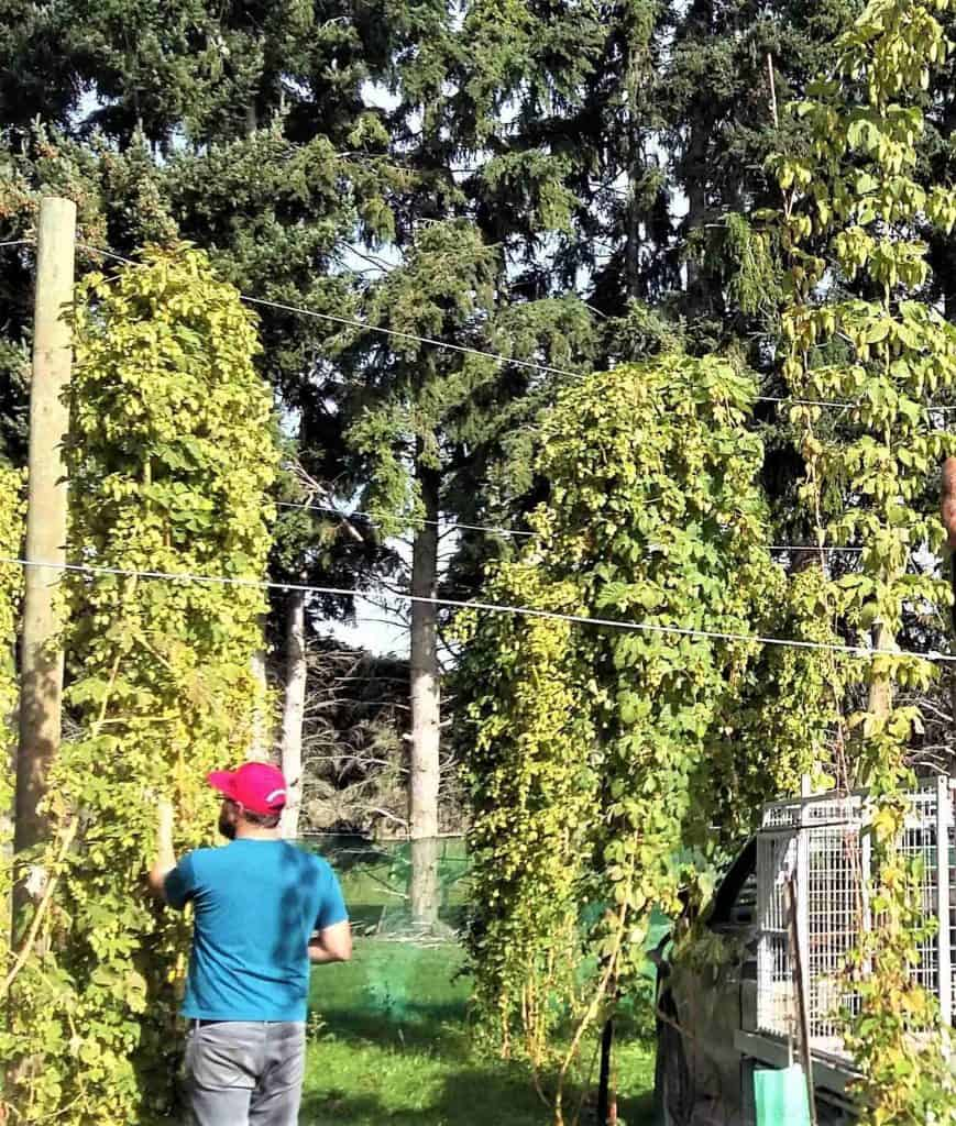 The brewer from Altitude Brewing inspects our towering hop plants.