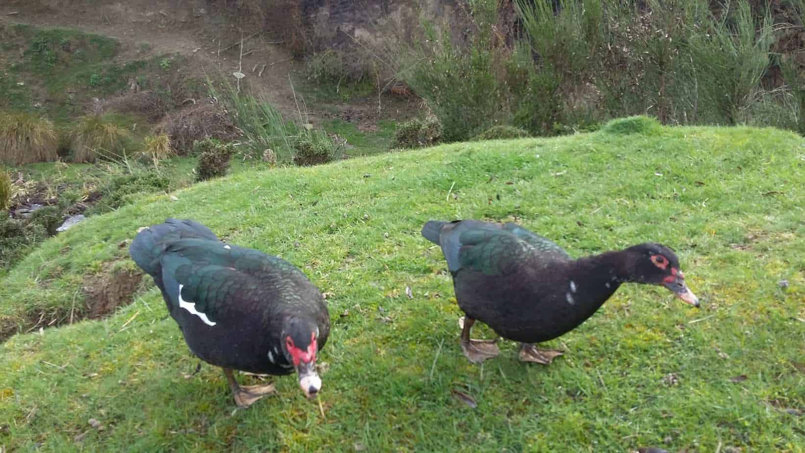 Close-up of two muscovy ducks.