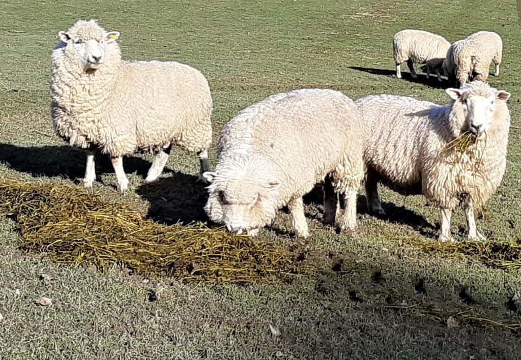 Close up of sheep eating lucerne bale.