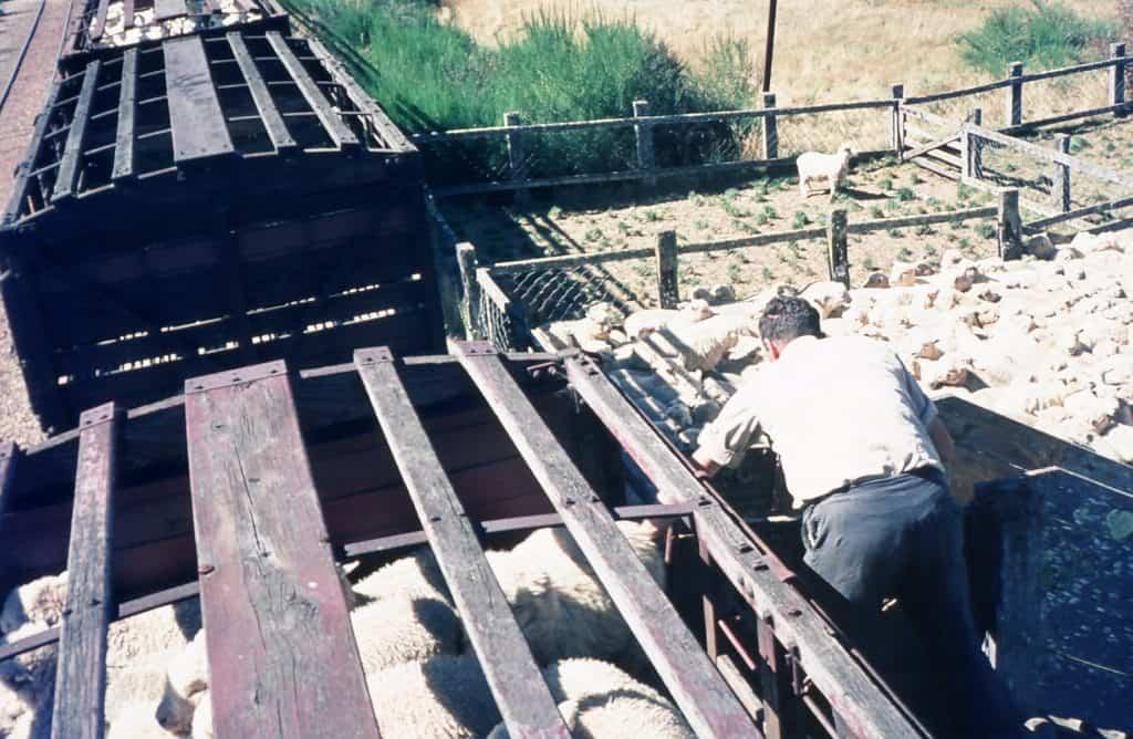 Close up of a man guiding sheep onto a railway wagon.