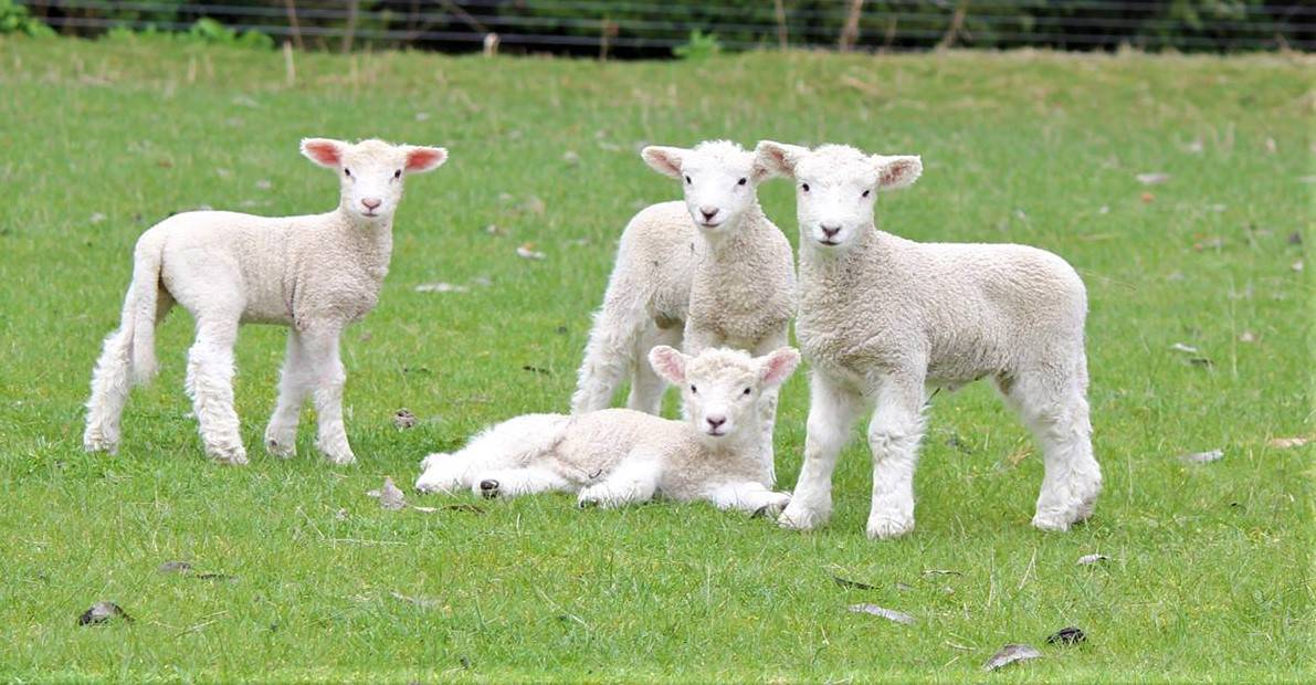 4 lambs at lambing time, all looking at the camera.