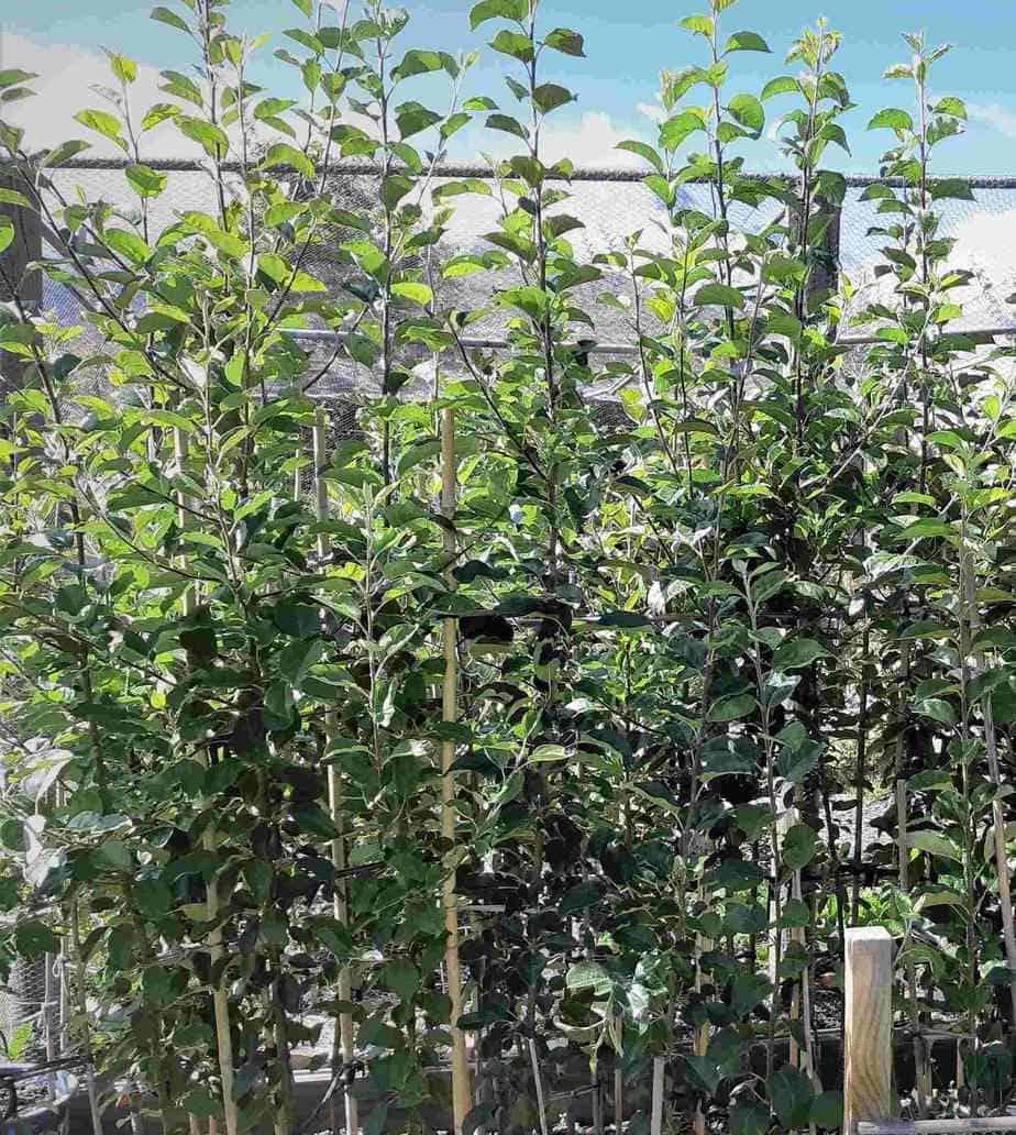 Heritage apple tree saplings in growing in Robyn Shield's tree nursery.