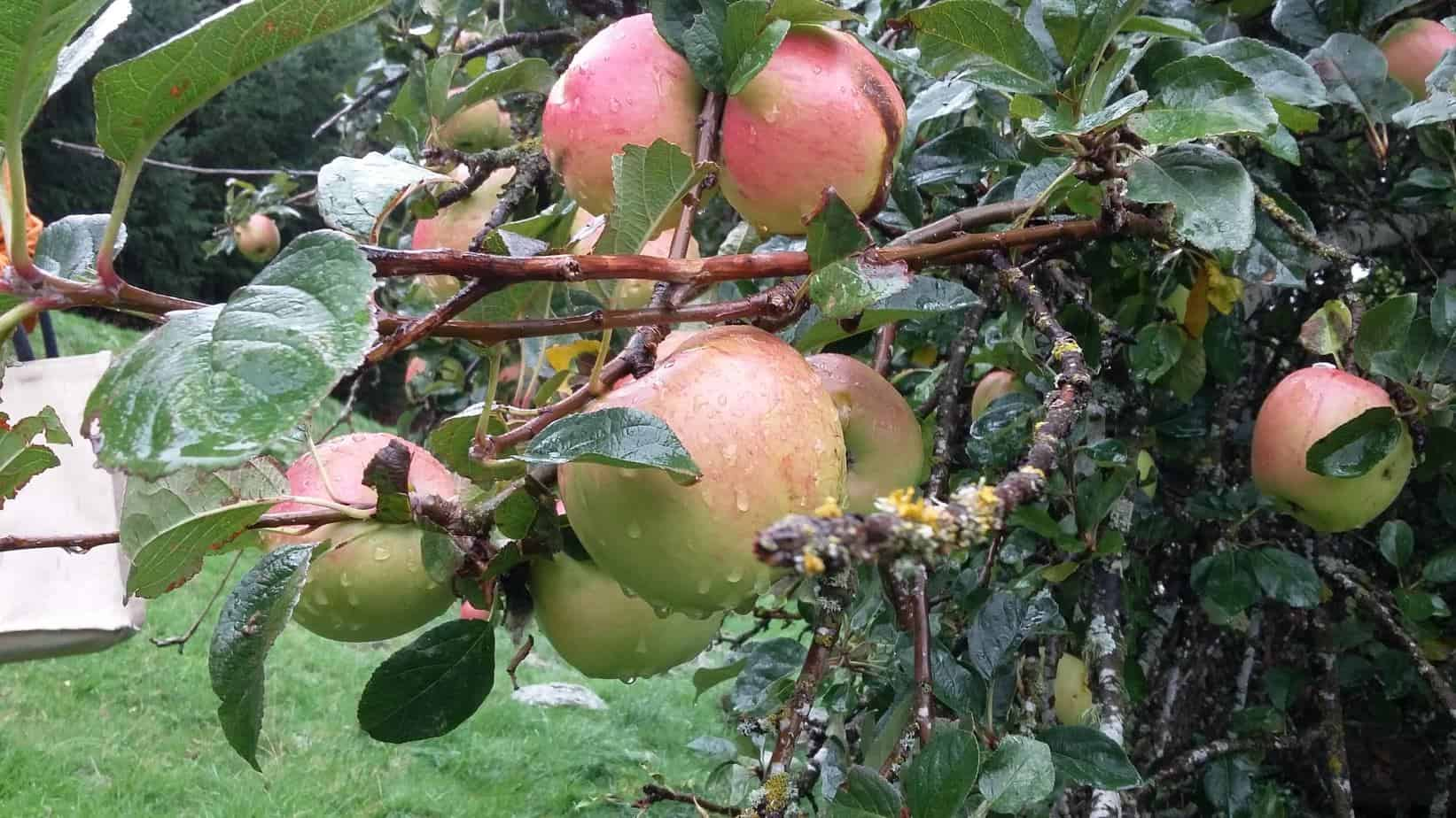 Apples on the tree on a rainy day.