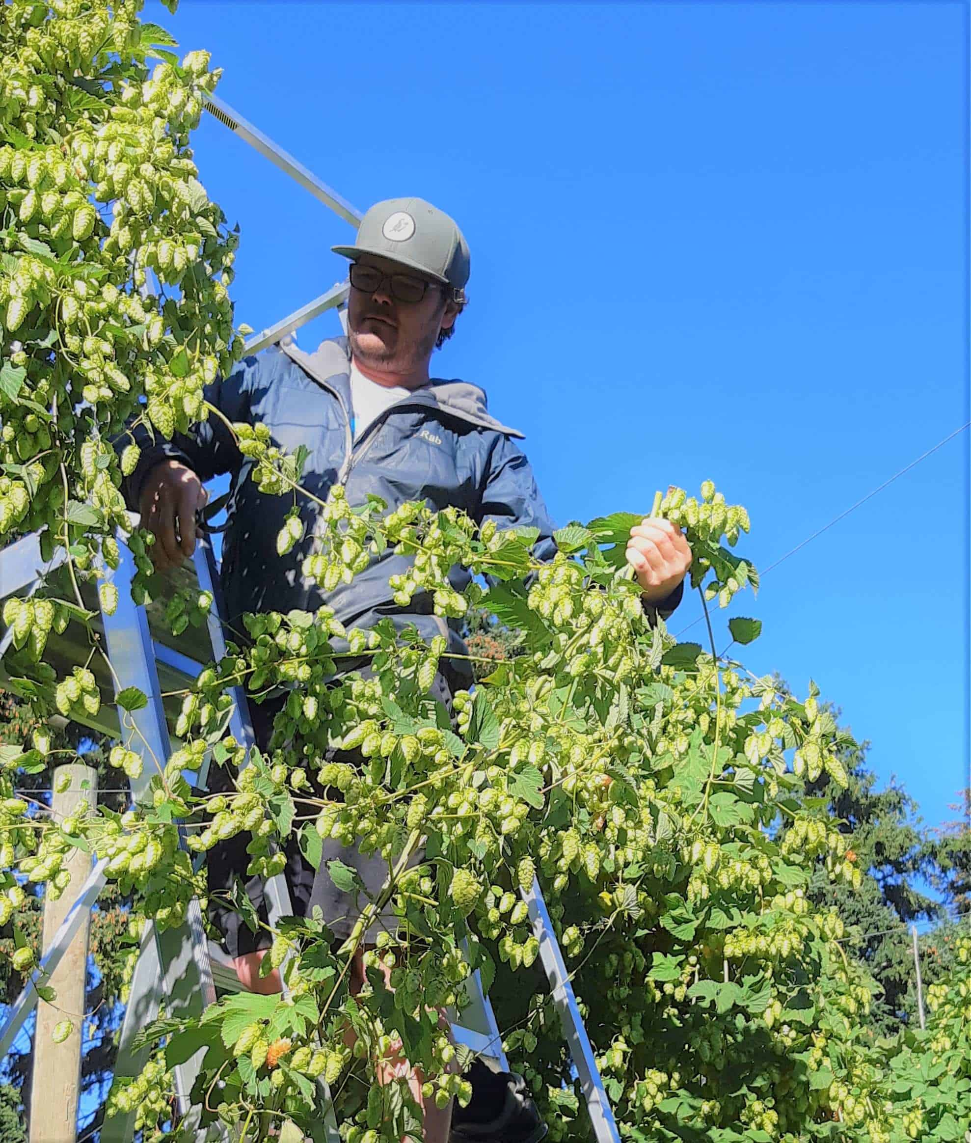 At the top of the ladder, Eliott cuts the first hop vine.