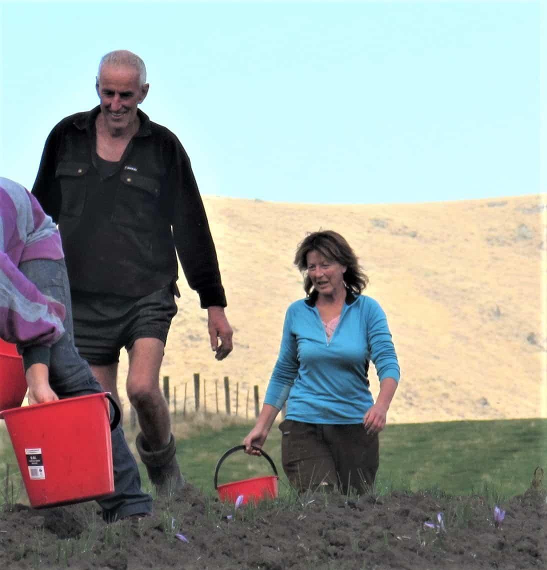 Steve and Jo Daley picking saffron in Garston.