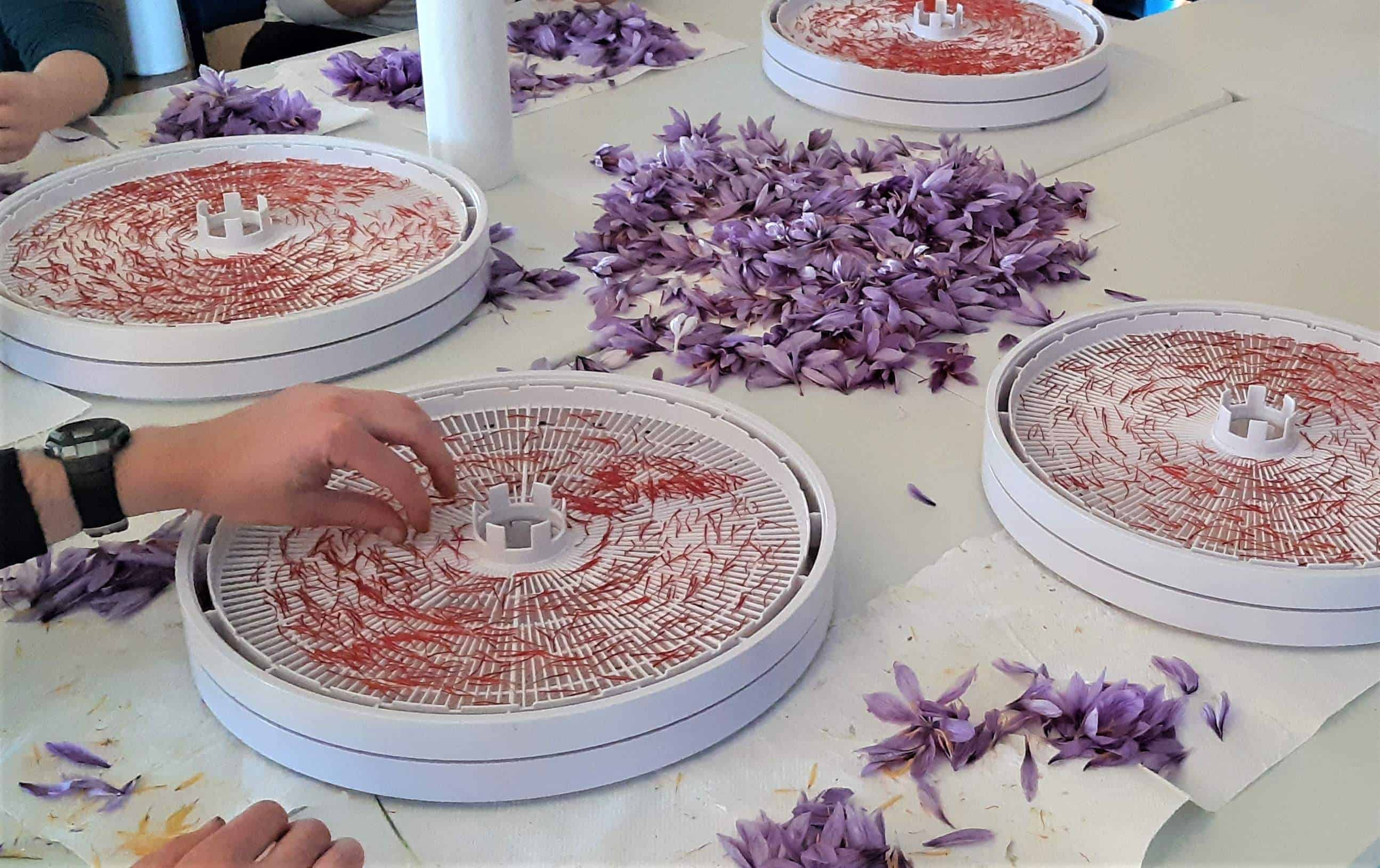 Placing saffron stigmas on the dehydrating trays.