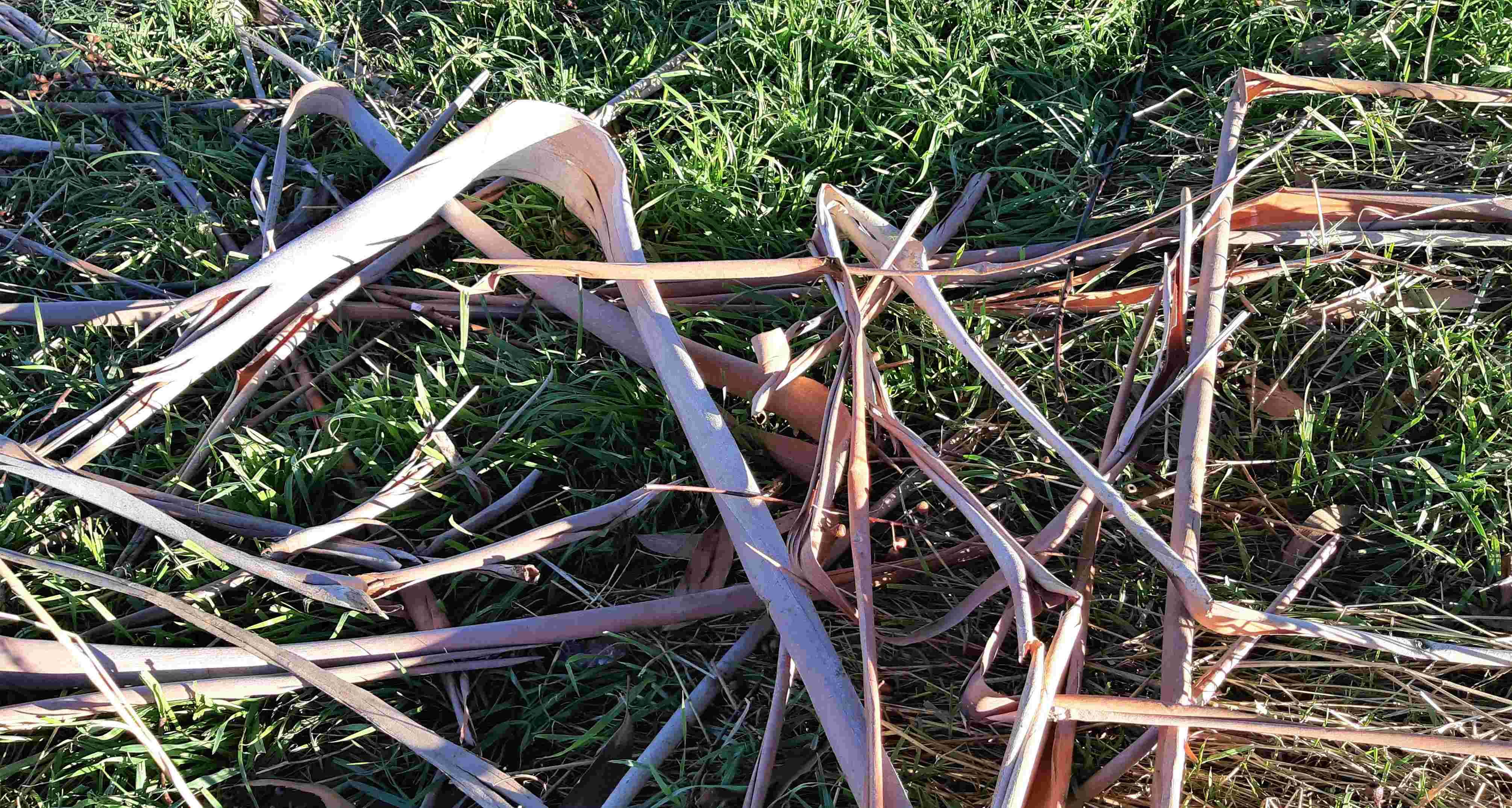 Strips of eucalyptus bark litter the ground.