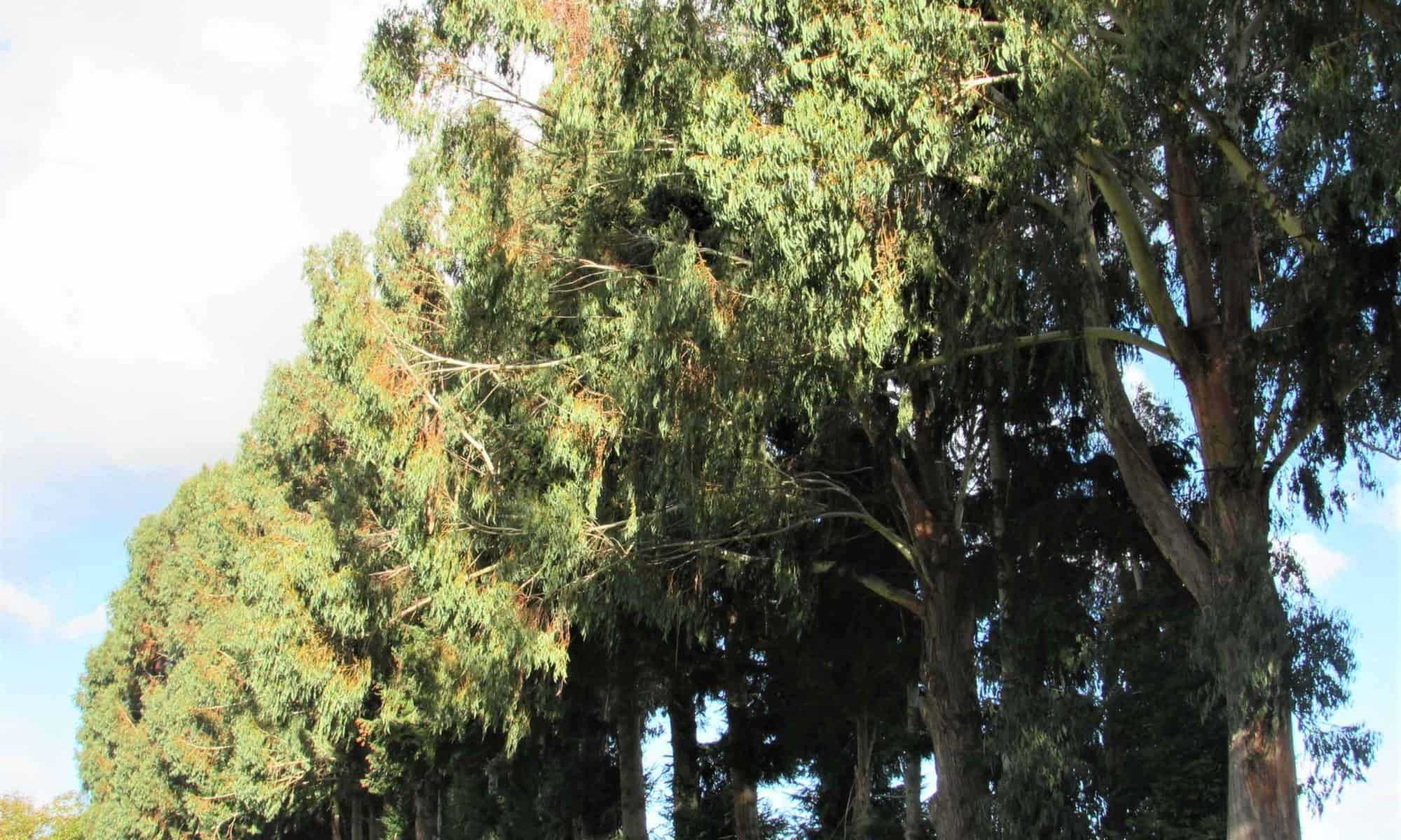 Gum trees tower over the house.