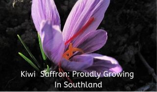 Purple Saffron Flower growing at the Kiwi Saffron farm.